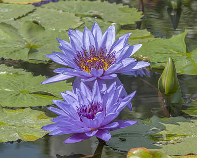 Photograph - Nymphaea Water Lily Dthb1634 by Gerry Gantt