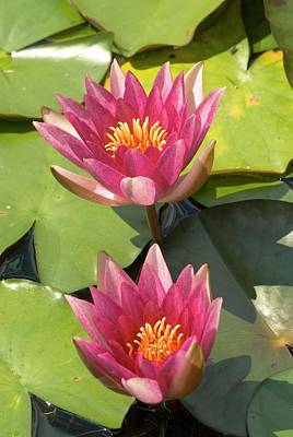 Waterlily Photograph - Nymphaea 'weymouth Red' by Adrian Thomas