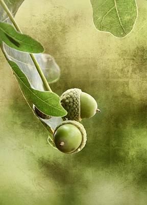 Photograph - Oak Acorns by Gynt
