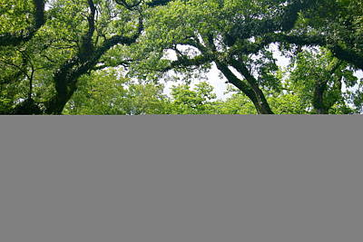 Photograph - Oak Alley Trees by Denise Mazzocco