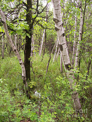Photograph - Oak And Birch by Mary Mikawoz