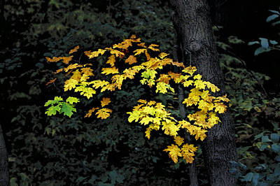 Photograph - Oak Cluster by Michael Moschogianis
