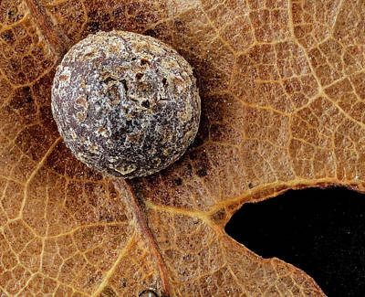 Quercus Photograph - Oak Gall by Us Geological Survey