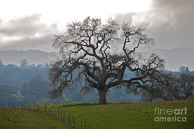 Oak In Fog Art Print