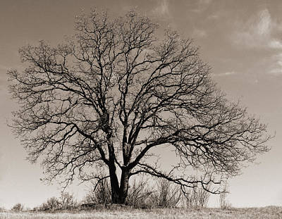 Photograph - Oak In Sepia by Lula Adams