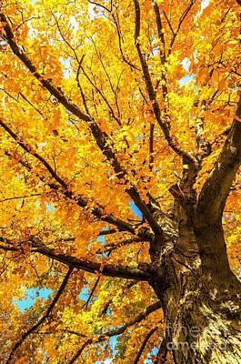 Oak In The Fall Art Print by Mike Ste Marie