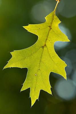 Photograph - Oak Leaf by Byron Jorjorian