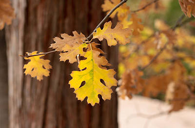 Photograph - Oak Leaf by Denice Breaux