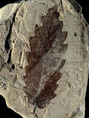 Palaeobotany Photograph - Oak Leaf Fossil by Gilles Mermet