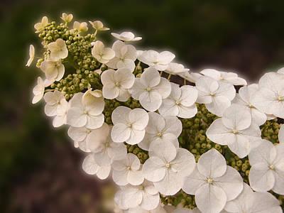 Photograph - Oak-leaf Hydrangea by Don Spenner