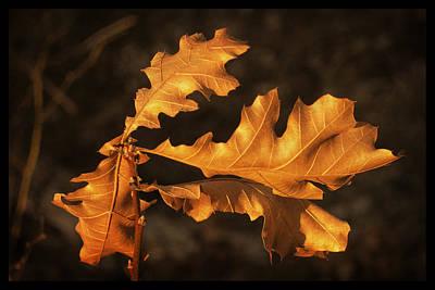 Photograph - Oak Leaves by Frank Winters