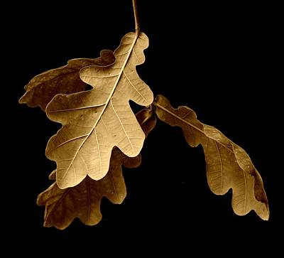 Autumn Leaves Photograph - Oak Leaves In Autumn by Bishopston Fine Art