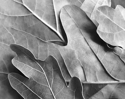 Platinum Photograph - Oak Leaves In Monochrome by Jennie Marie Schell
