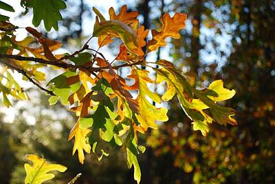 Photograph - Oak Leaves In Sunlight by Dakota Light Photography By Dakota