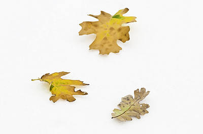 Photograph - Oak Leaves by Sherri Meyer