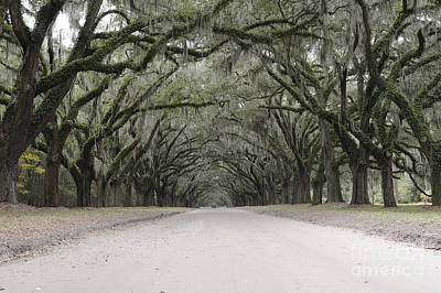 Photograph - Oak Lined Path by Nancy Greenland