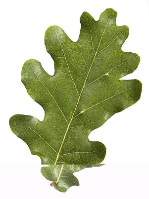 Oak (quercus Robur) Leaf Art Print by Science Photo Library