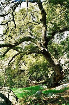 Art Print featuring the photograph Oak Spirit by Kathy Bassett