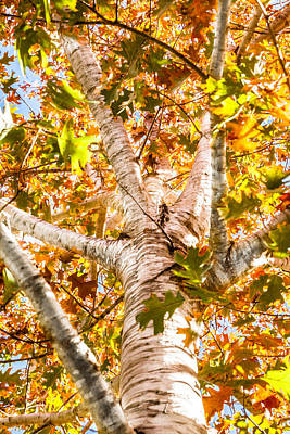 Photograph - Oak Study 1 by Melinda Ledsome