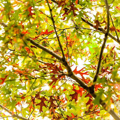 Photograph - Oak Study 7 by Melinda Ledsome