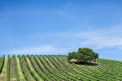 Central Coast Winery Photograph - Oak Tree Amid The Grapevines  by Priya Ghose