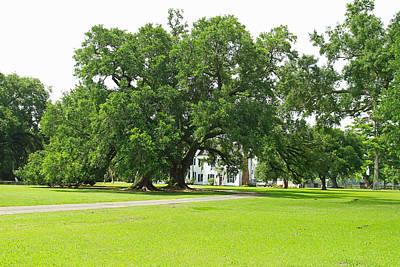 Oak Tree In Front Antibelum Home Art Print by Ronald Olivier