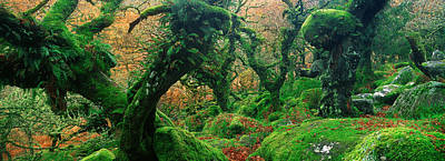Oak Trees In A Forest, Wistmans Wood Art Print by Panoramic Images