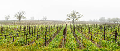 Winemaking Photograph - Oak Trees In A Vineyard, Guerneville by Panoramic Images