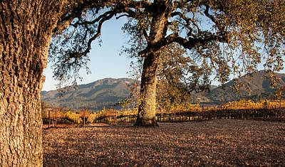 Oak Trees In The Vineyard Art Print by Kent Sorensen