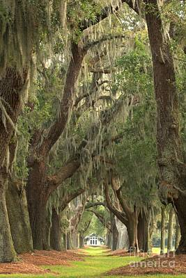 Photograph - Oaks Of Georgia by Adam Jewell