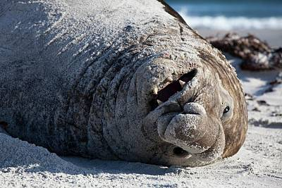 Obesity Photograph - Obesity In Animals A Happy Elephant Seal by Paul D Stewart