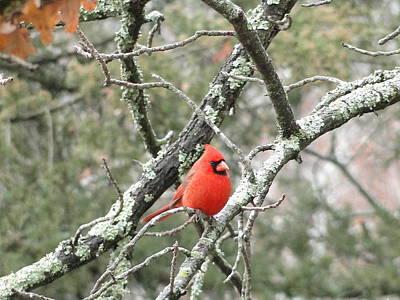 Observing Cardinal Art Print by Cindy Croal