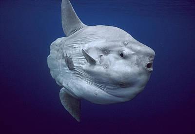 Ocean Sunfish Portugal Art Print