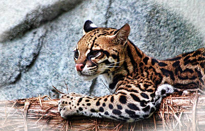 Photograph - Ocelot by Judy Vincent