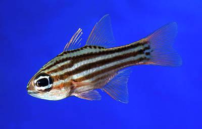 Kings Lynn Photograph - Ochre-striped Cardinalfish by Nigel Downer