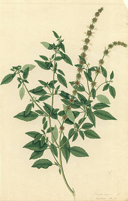 Ocimum Sanctum Art Print by Natural History Museum, London