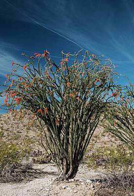 Ocotillo (fouquieria Splendens) In Flower Art Print
