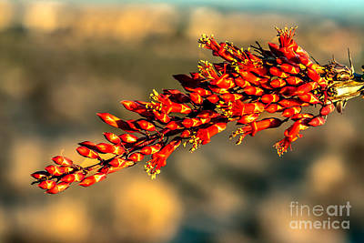 North American Vine Photograph - Ocotillo  by Robert Bales
