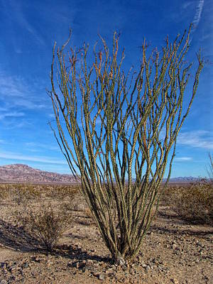 Photograph - Ocotillo Tree Greetings - Joshua Tree National Park by Glenn McCarthy