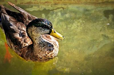 October Duck Print by Marty Koch