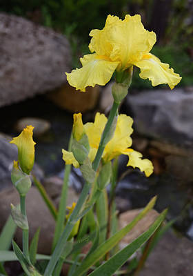 Photograph - October Iris by Penny Lisowski