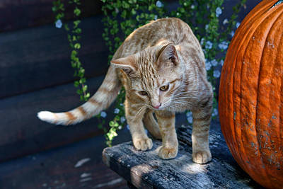 Photograph - October Kitten #2 by Nikolyn McDonald