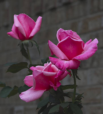 Photograph - October Rose 002 by Philip Rispin