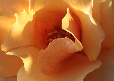Gold Roses Photograph - October's Rose  by Connie Handscomb