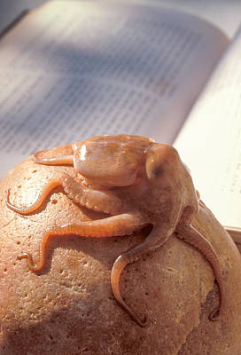 Photograph - Octopus by Matthew Pace