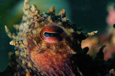 Photograph - Octopus, Sesimbra, Portugal by Morten Beier