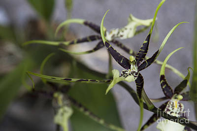 Photograph - Odbrs. Kenneth Bivens 'santa Barbara' X Brs. Rex 'tahoma' - Brassia Orchid by Sharon Mau