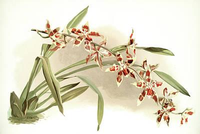Botanica Drawing - Odontoglossum Coradinei, Sander, F. Frederick 1847-1920 by Artokoloro