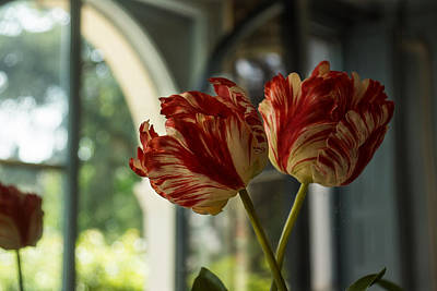 Photograph - Of Tulips And Windows by Georgia Mizuleva