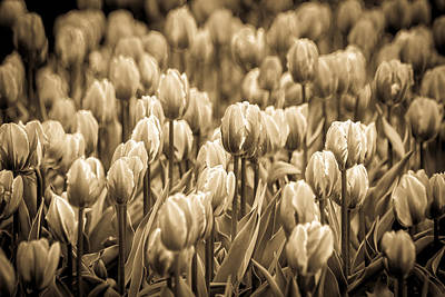 Photograph - Of Tulips Past by Bill Pevlor
